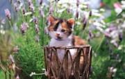 小花猫 篮子里的小花猫图片壁纸 后院里的小猫咪 动物壁纸