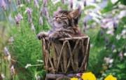小篮子里的猫咪图片壁纸 后院里的小猫咪 动物壁纸