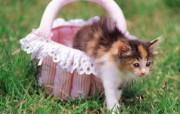 喵喵小猫 篮子里的小猫咪图片壁纸 后院里的小猫咪 动物壁纸