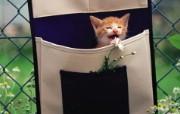 布袋里的小小黄猫咪图片壁纸 后院里的小猫咪 动物壁纸