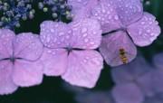 花卉摄影 绣球花壁纸 壁纸9 花卉摄影绣球花壁纸 动物壁纸