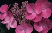 花卉摄影 绣球花壁纸 壁纸17 花卉摄影绣球花壁纸 动物壁纸