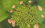 花卉摄影 绣球花壁纸 壁纸20 花卉摄影绣球花壁纸 动物壁纸