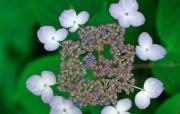 花卉摄影 绣球花壁纸 壁纸22 花卉摄影绣球花壁纸 动物壁纸