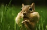 花栗鼠可爱摄影壁纸 动物壁纸