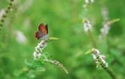 花与蝴蝶专业蝴蝶摄影壁纸 动物壁纸