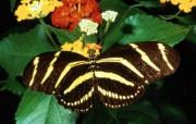 蝴蝶壁纸 动物壁纸