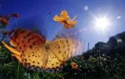 蝴蝶 宽屏高清壁纸 动物壁纸