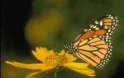 蝴蝶来过这世界 动物壁纸