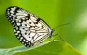 蝴蝶写真 动物壁纸