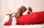家居宠物狗狗壁纸 动物壁纸
