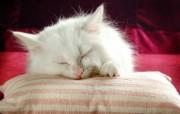 家有宠物波斯猫壁纸 动物壁纸