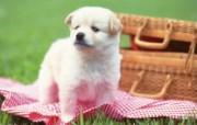 家有幼犬可爱小狗壁纸 动物壁纸