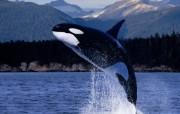 鲸 动物壁纸