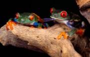蜻蛙 动物壁纸