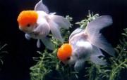金鱼 动物壁纸