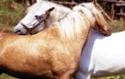 骏马写真 动物壁纸