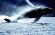 巨型鲸鱼壁纸 动物壁纸