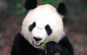 可爱国宝!大熊猫高清晰壁纸 动物壁纸