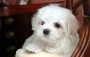 可爱卷毛比雄犬壁纸 动物壁纸