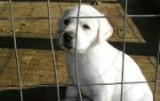 可爱拉布拉多寻回犬壁 动物壁纸