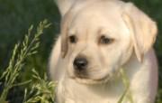可爱拉布拉多寻回犬壁纸 动物壁纸