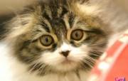 可爱猫咪壁纸 动物壁纸
