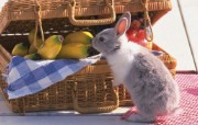 可爱兔子 动物壁纸