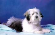 可爱小狗 动物壁纸