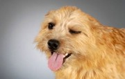 可爱小狗电脑桌面壁纸 可爱小狗电脑桌面壁纸 动物壁纸