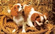 可爱小狗狗精美壁纸II 动物壁纸