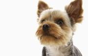 可爱小狗宽频壁纸二 壁纸18 可爱小狗宽频壁纸二 动物壁纸