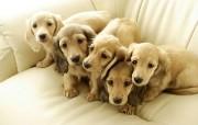 可爱小狗宽频壁纸三 动物壁纸
