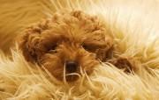 可爱小狗宽频壁纸四 动物壁纸
