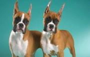 可爱小狗 名犬 宽屏壁纸 壁纸4 可爱小狗(名犬) 宽 动物壁纸
