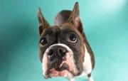 可爱小狗 名犬 宽屏壁纸 壁纸5 可爱小狗(名犬) 宽 动物壁纸
