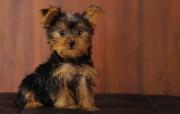 可爱小狗 名犬 宽屏壁纸 壁纸6 可爱小狗(名犬) 宽 动物壁纸