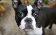 可爱小狗 名犬 宽屏壁纸 壁纸7 可爱小狗(名犬) 宽 动物壁纸