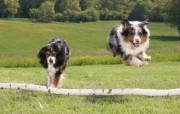 可爱小狗 名犬 宽屏壁纸 壁纸10 可爱小狗(名犬) 宽 动物壁纸