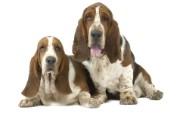 可爱小狗 名犬 宽屏壁纸 壁纸11 可爱小狗(名犬) 宽 动物壁纸