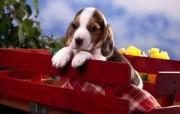 可爱小狗 名犬 宽屏壁纸 壁纸16 可爱小狗(名犬) 宽 动物壁纸