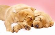 可爱小狗 名犬 宽屏壁纸 壁纸18 可爱小狗(名犬) 宽 动物壁纸