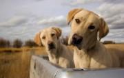 可爱小狗 名犬 宽屏壁纸 壁纸19 可爱小狗(名犬) 宽 动物壁纸