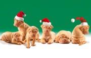 可爱小狗 名犬 宽屏壁纸 壁纸21 可爱小狗(名犬) 宽 动物壁纸