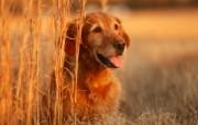 可爱小狗 名犬 宽屏壁纸 壁纸23 可爱小狗(名犬) 宽 动物壁纸