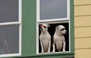 可爱小狗 名犬 宽屏壁纸 壁纸24 可爱小狗(名犬) 宽 动物壁纸