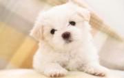 可爱小狗 名犬 宽屏壁纸 壁纸25 可爱小狗(名犬) 宽 动物壁纸