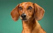 可爱小狗 名犬 宽屏壁纸 壁纸26 可爱小狗(名犬) 宽 动物壁纸