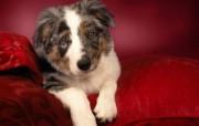 可爱小狗 名犬 宽屏壁纸 壁纸49 可爱小狗(名犬) 宽 动物壁纸