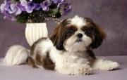 可爱小狗 名犬 宽屏壁纸 壁纸28 可爱小狗(名犬) 宽 动物壁纸